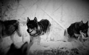 wolvesrunning