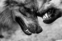Wolf-Bite (a somonka)